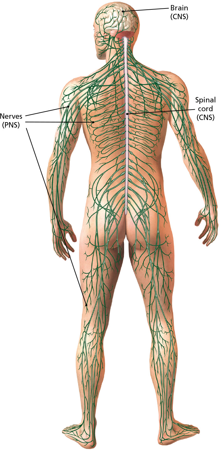 The Peripheral Nervous Systemnerves On The Edge