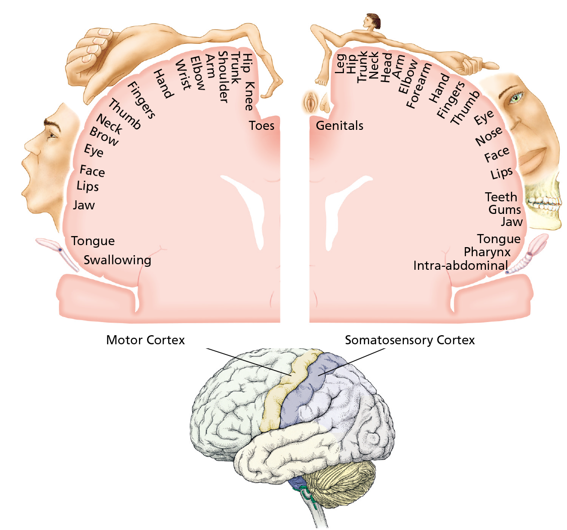 Cerebrum Diagram Color Wire Data Schema 11ledknightridercircuitgif Motor Cortex And Sensory Impremedia Net Diencephalon Left Brain Right